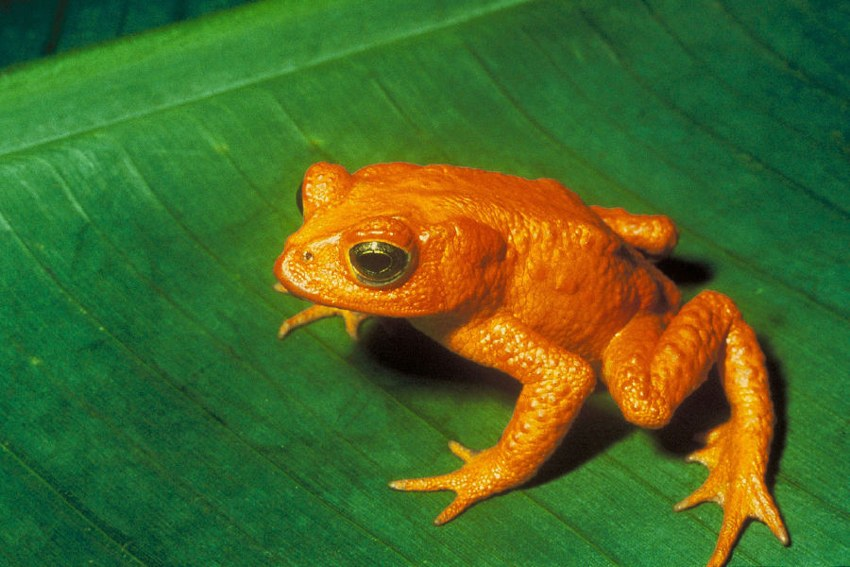 Golden Toad - Broasca Aurie