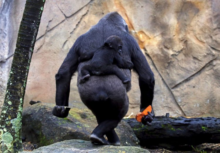 baby-gorilla-mjukuu-rides-on-the-back-of-his-mother