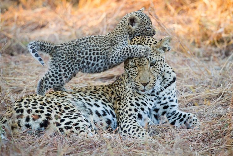 baby-leopard-playing-with-her-mom