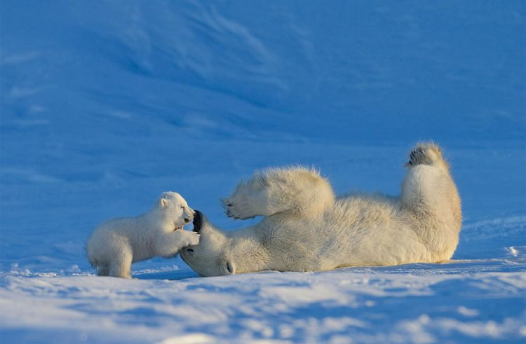 baby-polar-bear-playing-with-his-mother