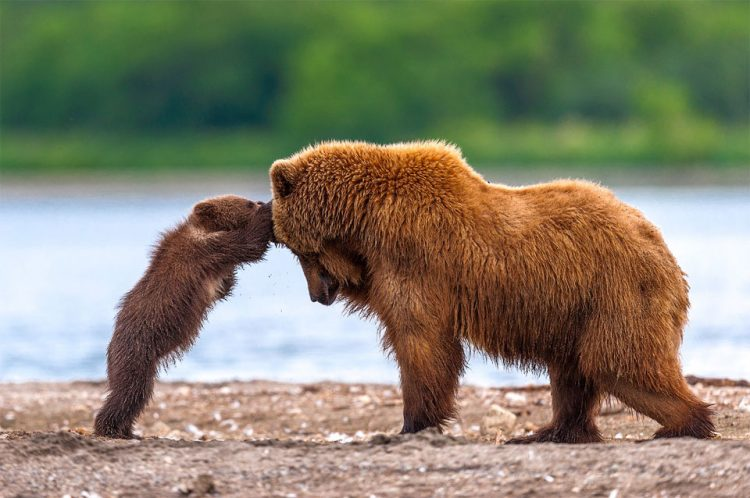 grizzly-bear-mother-and-cub-playing