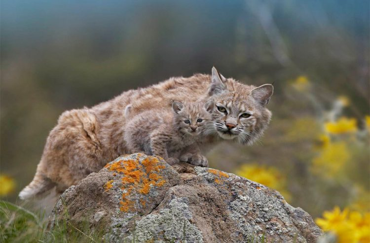 mother-lynx-with-a-cub-baby