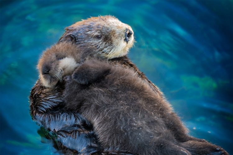 sea-otter-babies-sleep-on-their-mother