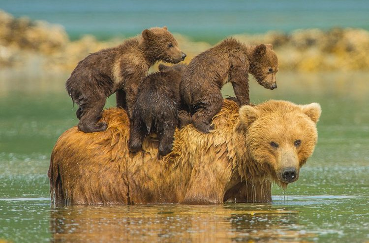A mother bear takes a dip in the water to cool off in the warm summer sun but refuses to leave her three youngsters behind – so they climb aboard her back. (Photo by Jon Langeland/Solent News & Photo Agency)